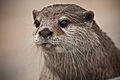 Asian Short-Clawed Otter.jpg