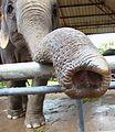Asian elephant trunk.jpg