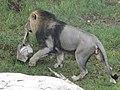Asiatic Lion 13.jpg