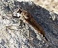 Asilidae. Robberfly (32705015384).jpg