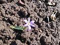 Asparagales - Scilla forbesii - 2.jpg