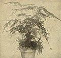 Asparagus Plumsos Nanus.jpg