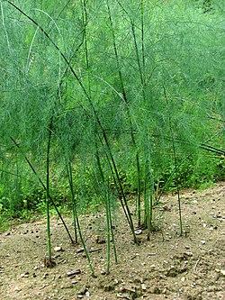Asparagus plants - geograph.org.uk - 552470.jpg