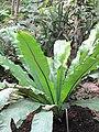 Asplenium australasicum (Jardin des Plantes de Paris).jpg