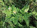 Astragalus cicer sl7.jpg