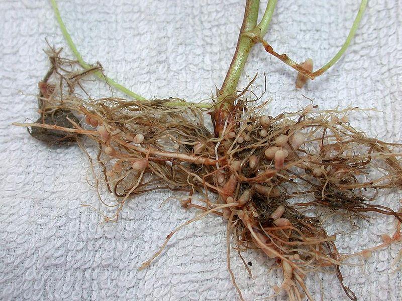 File:Astragalus sinicus genge konryu.jpg