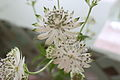 Astrantia Major 'Snow Star'.JPG