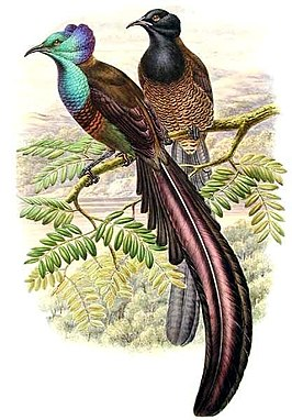 Astrapia stephaniae (Stephanie-astrapia)