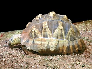 Angonoka tortoise species of reptile