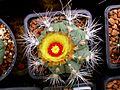 Astrophytum flowers 22.jpg
