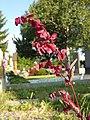 Atriplex hortensis sl14.jpg