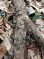 Auricularia minutissima Y.C. Dai, F. Wu & Malysheva 604519.jpg