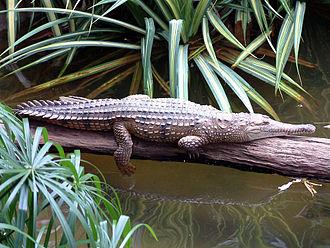 Freshwater crocodile - Image: Australia Cairns 18