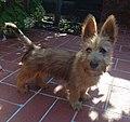 Australian Terrier - Puppy.jpg