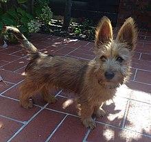 Australian Terrier Wikipedia