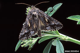 Autographa californica.jpg