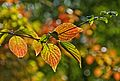 Autumn leaves beginning to change colors in sharp foreground focus.jpg