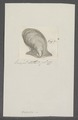 Avicula spec. - - Print - Iconographia Zoologica - Special Collections University of Amsterdam - UBAINV0274 075 10 0010.tif