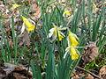 Avilly-Saint-Léonard (60), fleurissement des jonquilles dans la forêt de Chantilly 3.JPG