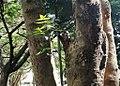 Azadirachta indica - Neem tree- Arusha Botanical Garden 2.jpg