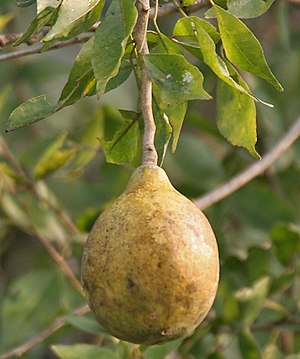 Aegle marmelos - A ripe bael fruit in India
