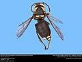 Bald-faced Hornet (Vespidae, Dolichovespula maculata (Linnaeus)) (32512319833).jpg