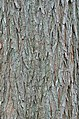 Bald Cypress Taxodium distichum Bark Vertical.JPG