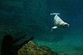 Baleia - Whale Beluga - Nagoya Aquarium - Japan (15838120466).jpg