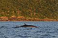 Baleia na baia das Enchovas.jpg