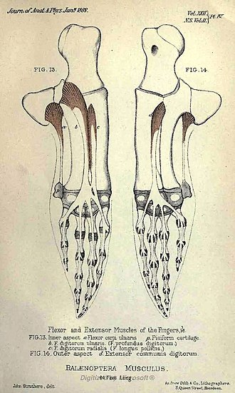 Tay Whale - Image: Balenoptera musculus musculature, Struthers