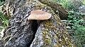 Ballıkayalar Tabiat Parkında bulunan bir mantar.jpg