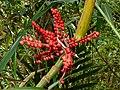 Bamboo Palm (Areca kinabaluensis) fruits (8407893627).jpg