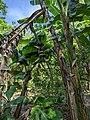 Banana Tree Miami.jpg