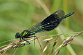 Banded Demoiselle (Calopteryx splendens) male adult.jpg