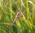 Banded Garden Spider (Argiope trifasciata) - Flickr - gailhampshire (1).jpg