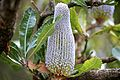 Banksia Plant, Blue Mountains (6599374407).jpg