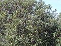 Banksia at gerroa (3393886727).jpg