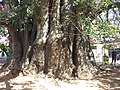 Baobá do Poeta (Adansonia digitata)-03.jpg