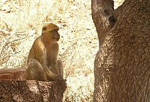 Barbary Macaque of Djurdjura National Park (Algeria).jpg