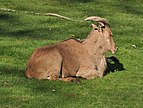 Barbary Sheep (Ammotragus lervia).JPG
