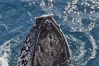 Whale barnacle - Shed barnacle scars on a humpback whale