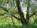 Baumriese am wanderweg zum abgerissenen forsthaus fischbrunn.jpg