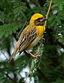 Baya Weaver Ploceus philippinus male Breeding plumage by Dr. Raju Kasambe DSC 5420 (12).jpg