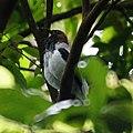 Bearded Bell Bird (5536004788).jpg