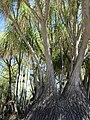 Beaucarnea recurvata (7996968062).jpg