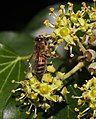 Bee on ivy flowers (37660700416).jpg