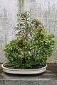 Beech (Fagus Crenata) (3504613551).jpg