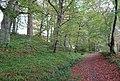 Beech trees at Sorn Woods, East Ayrshire.jpg