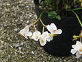 Begonia probably U614, originally sold as sikkimensis (20493621715).jpg
