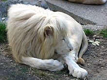 White lion - Wikipedia